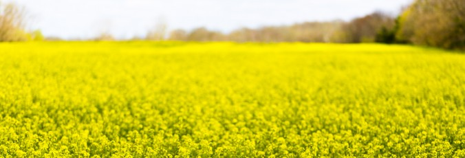 20515_Yellow_flower_field